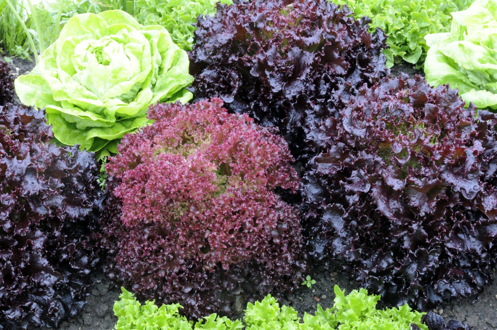 salat richtig waschen und lagern so bleibt er l nger knackig und frisch. Black Bedroom Furniture Sets. Home Design Ideas