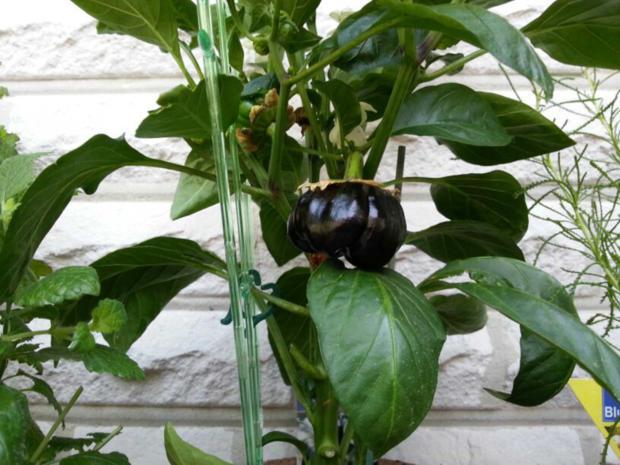 0184 meine beilagen schwarze paprika mit wachtelei rezept. Black Bedroom Furniture Sets. Home Design Ideas