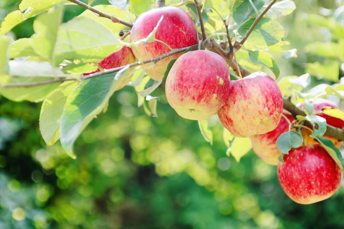 vitaminquelle der eigene apfelbaum im garten tipp. Black Bedroom Furniture Sets. Home Design Ideas