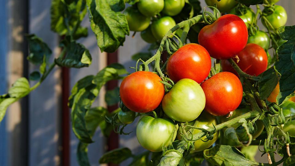 tomaten das sommergem se zum selber anbauen. Black Bedroom Furniture Sets. Home Design Ideas