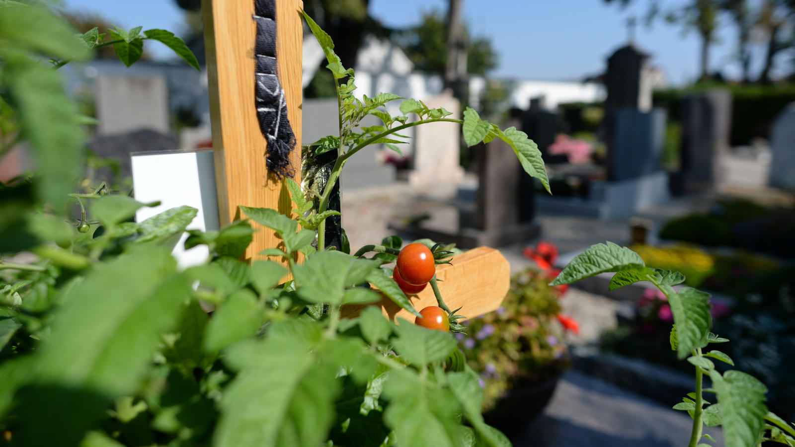 tomaten pikieren so geht s. Black Bedroom Furniture Sets. Home Design Ideas