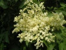 Hollunderblüten-Sirup - Rezept
