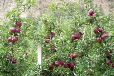 Apfeltorte mit Schuss - Rezept