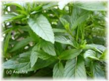 Sirup - Minzesirup - Rezept