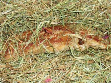 Schweinefilet im Heubett - Rezept