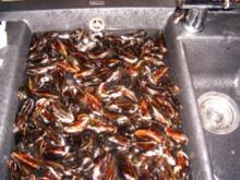 Muscheln auf rheinische Art - Rezept