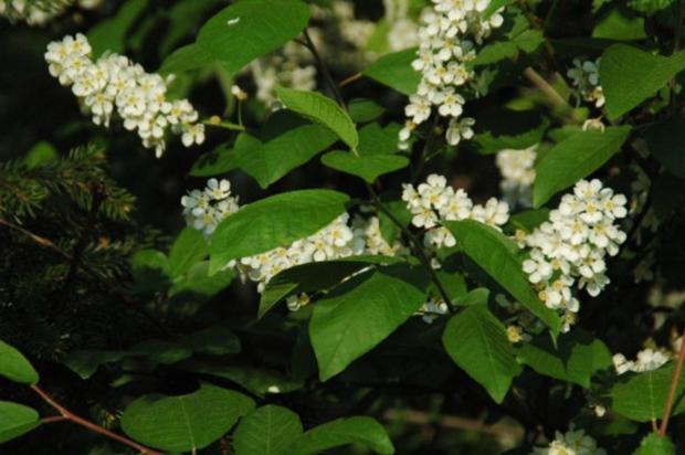 Traubenkirschenblüten-Gelee - Rezept