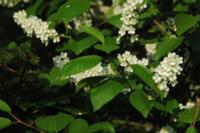Traubenkirschenblüten-Gelee - Rezept - Bild Nr. 2