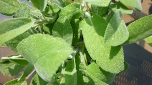 Spanferkelrollbraten mit Wildblütenhonigkruste und grünem Spargel an Steinpilz-Salbeisauce - Rezept - Bild Nr. 7