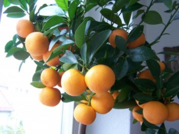 Zwergorangen-Marmelade - Rezept