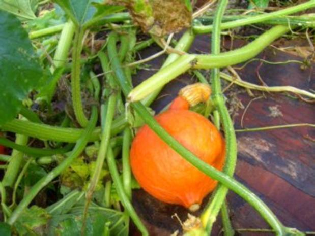 """""""Eingelegter Kürbis"""" oder auch anderes Gemüse - Rezept - Bild Nr. 3"""
