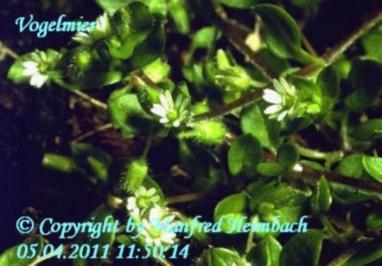 Pesto – Vogelmierenpesto a'la Manfred - Rezept