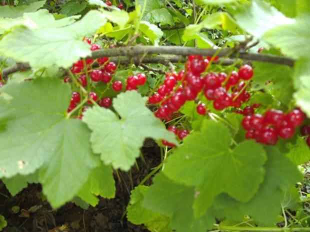 einmachen / Gelee: Johannisbeergelee mit Holunderblütensirup - Rezept - Bild Nr. 2