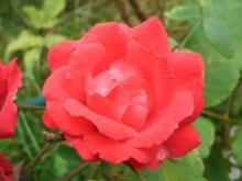 Kandierte Rosenblütenblätter - Rezept