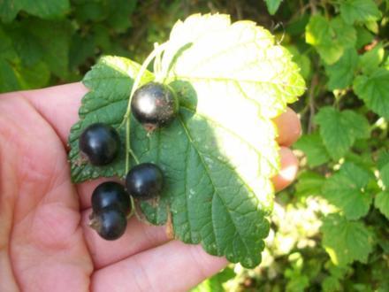 Louhisaari Black currant leaves drink (Schwarze Johannisbeeren Blätter Getränk) - Rezept
