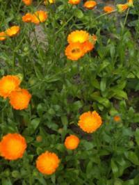 Hausapotheke / Natur: Ringelblumesalbe selber herstellen - Rezept