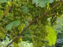 Winzer Weintrauben Gelee - Rezept