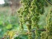 Brennesselsamen- Croutons - Rezept