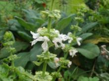 Kräuterzucker Basilikumblüten - Rezept