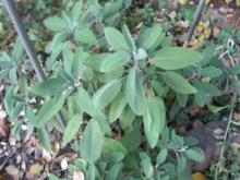 Salbei-Ingwer-Honig-Tee - Rezept