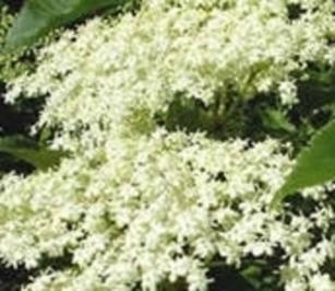 Süße Holunderschöberl  ( Holunderblüten im Schlafrock ) - Rezept