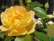 Rosenblüten-Bowle - Rezept