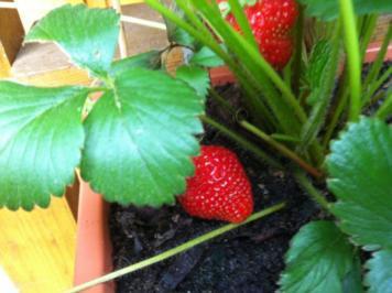 Erdbeeren mit Erdbeerminze-Vanille- Soße - Rezept