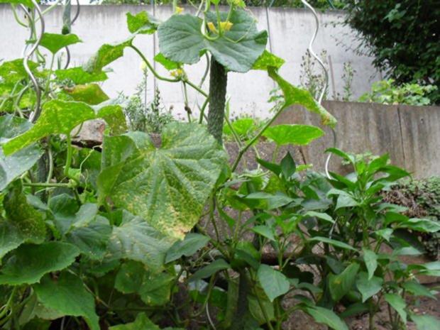 Gurkensalat aus Chinesischer Schlangengurke - Rezept