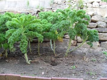 Lasagne: Grünkohl mit Tomaten und Rauchfleisch - Rezept