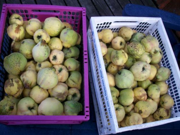 Andy´s  Apfel-Quitten Gelee - Rezept - Bild Nr. 2