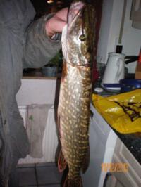 Fisch: gespickter Hecht in Riesling - Rezept