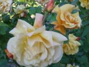 traumhaftes Rosenblüten-Gelee - Rezept