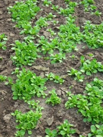 Frischer Salat-Mix aus dem Garten - Rezept - Bild Nr. 2