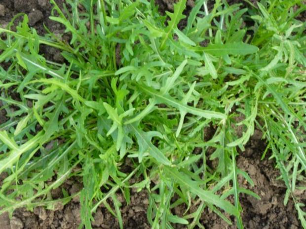 Frischer Salat-Mix aus dem Garten - Rezept - Bild Nr. 3
