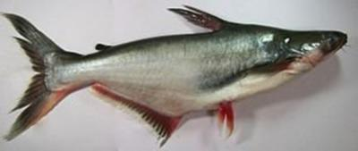 Rezept: Pangasius - Filet