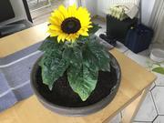 """Blumentopf"" oder Himbeer-Tiramisu - Rezept - Bild Nr. 8303"