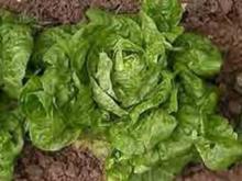 Lachsspieße auf Salatbett - Rezept