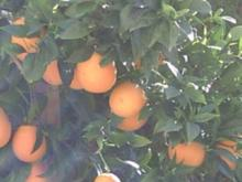 Orangenlikör - Rezept