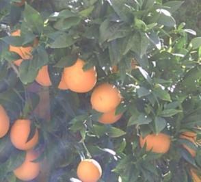 Rezept: Orangenlikör