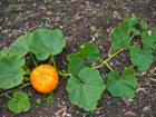 Gemüse aus dem eigenen Garten: Kürbisse pflanzen - Tip