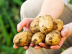 Gemüse aus eigenem Anbau: Kartoffeln pflanzen - Tip