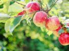 Vitaminquelle: der eigene Apfelbaum im Garten - Tip