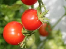 Tomaten selbst pflanzen – so funktionierts - Tip