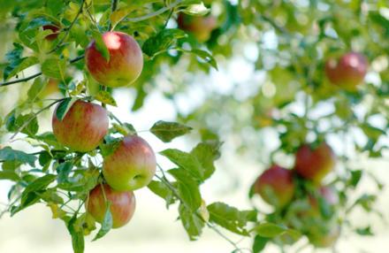 Den Apfelbaum für eine gute Ernte richtig schneiden - Tip