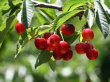 Wie Sie einen Kirschbaum im Garten pflanzen - Tip