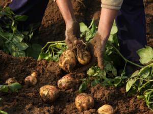 Kartoffelernte leicht gemacht - Tip