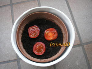Tomatenpflanzen selber ziehen aus frischen Tomaten - Tip