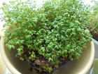 Gartenkresse Kräutertopf - Kressesamen keimen lassen - Tip
