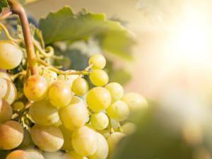 Weinreben pflanzen: so erhalten Sie eine gute Ernte - Tip
