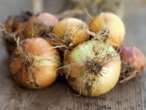 Zwiebeln ernten – auf das Wetter kommt es an - Tip